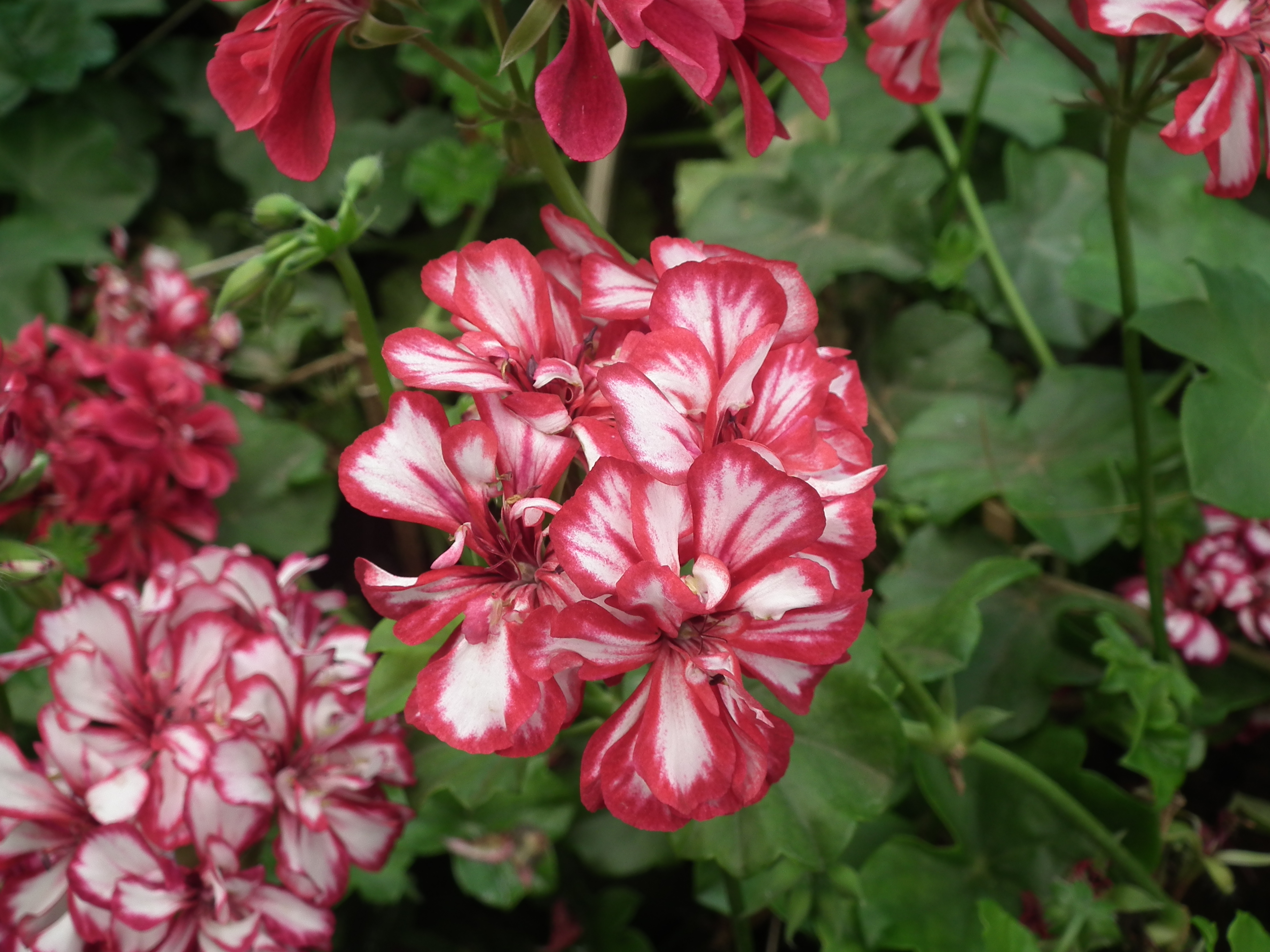 File Geranium Doubles from Lalbagh Flower Show August 2012 4666 JPG