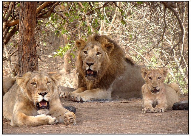 Asiatic Lions are only found in Gir National Park of Gujarat. via wikimedia