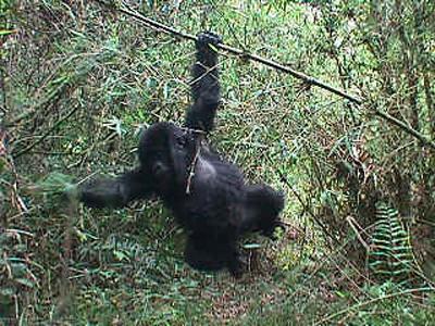 Gorill3.jpg