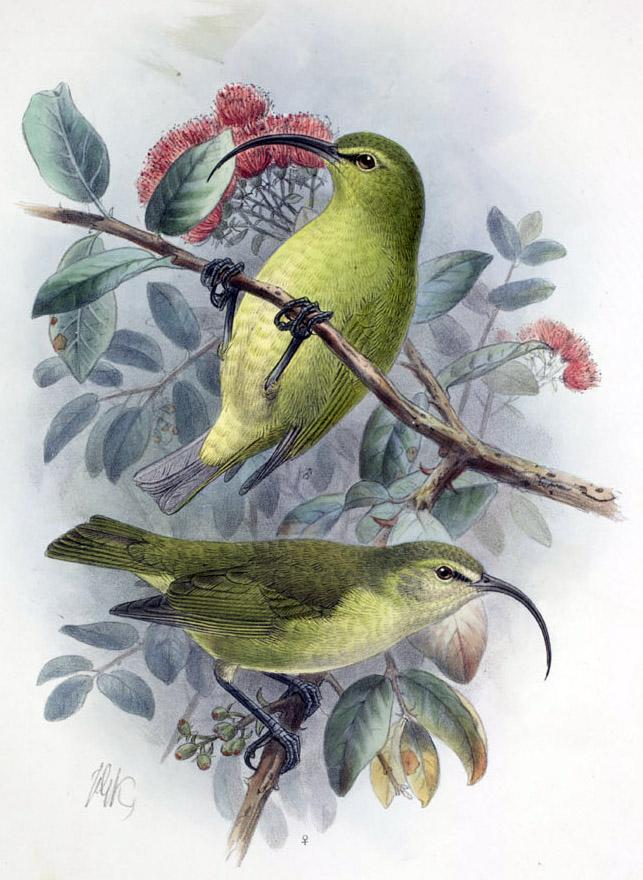http://upload.wikimedia.org/wikipedia/commons/9/90/Hemignathus_obscurus1.jpg