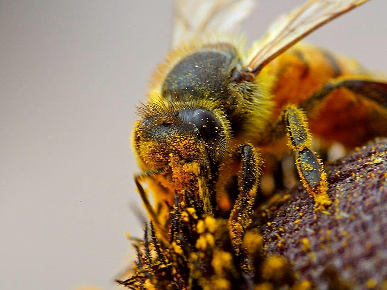 File:Honeybee apis mel...