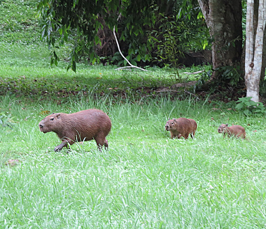 The average litter size of a Lesser capybara is 4