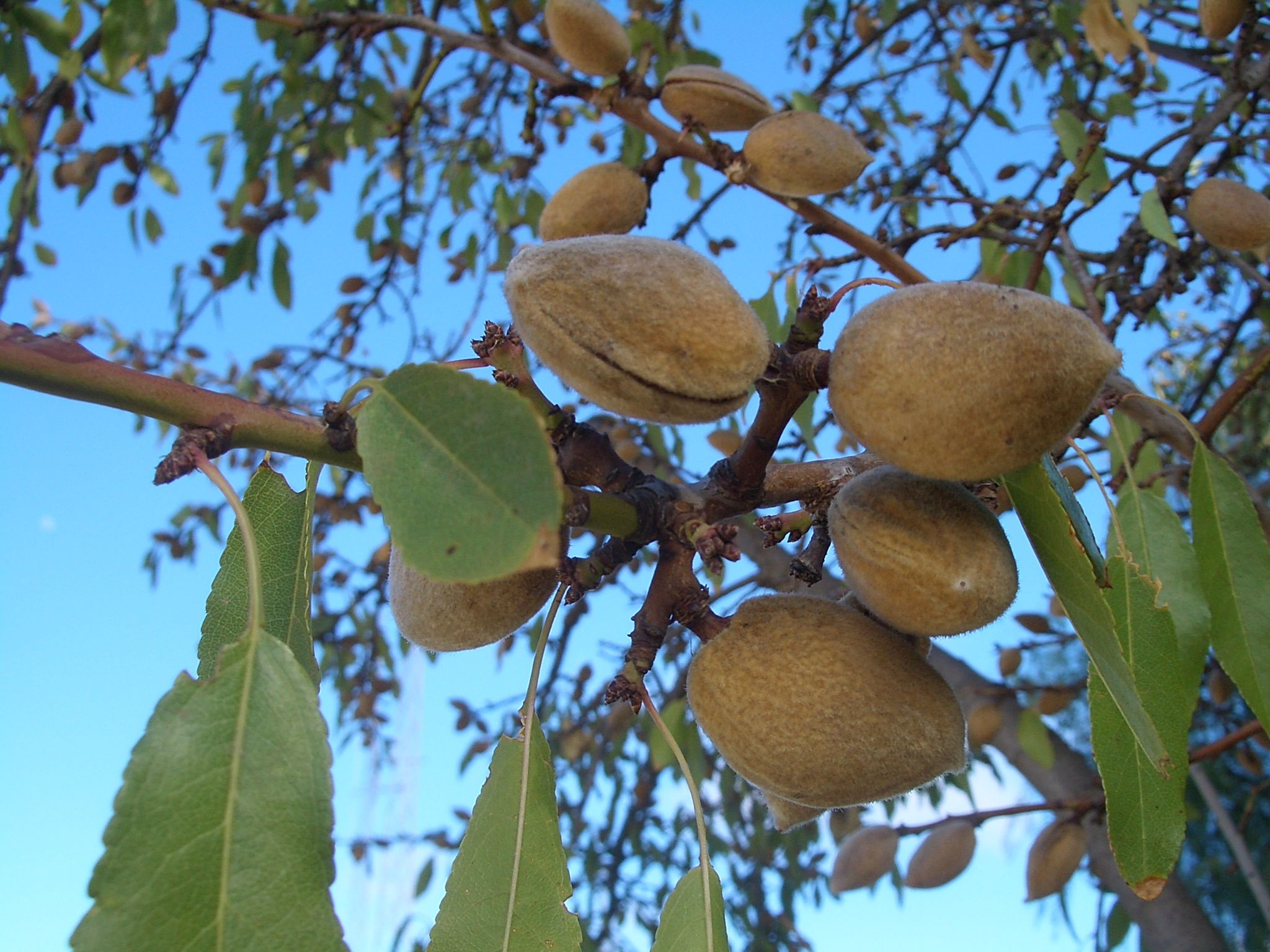 Almond Tree Facts