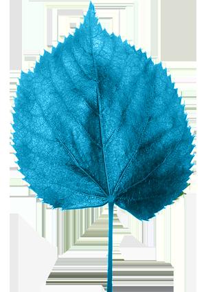 Tilia leaf -