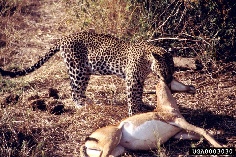 Leopards diet - photo#7
