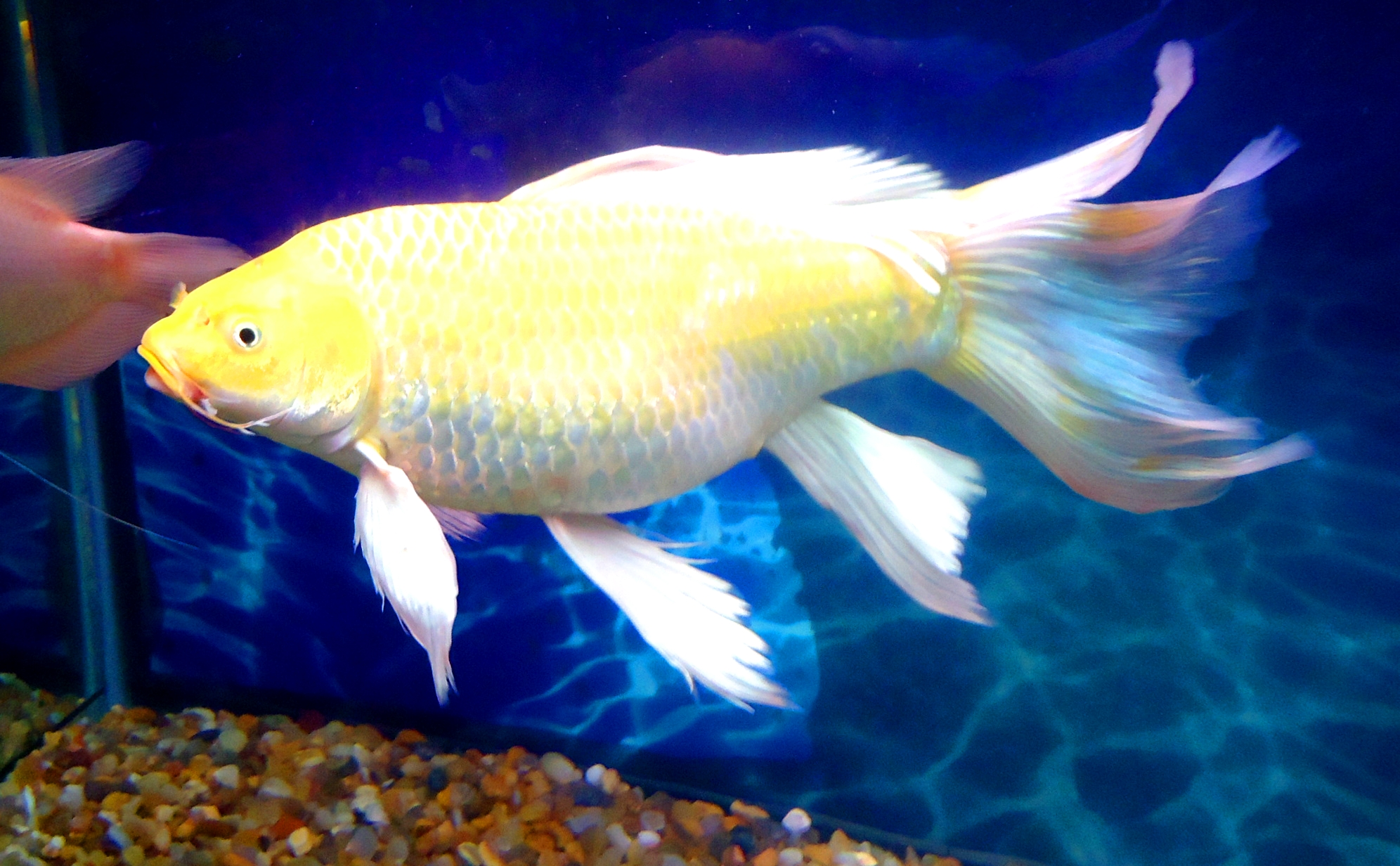 File long white fish jpg wikimedia commons for Pictures of white fish