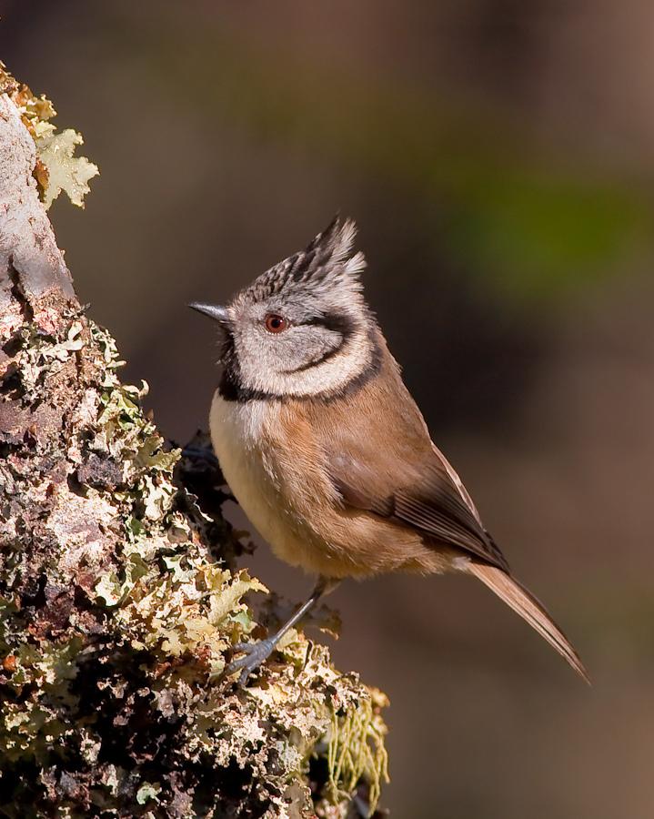 tit (bird) - wikipedia