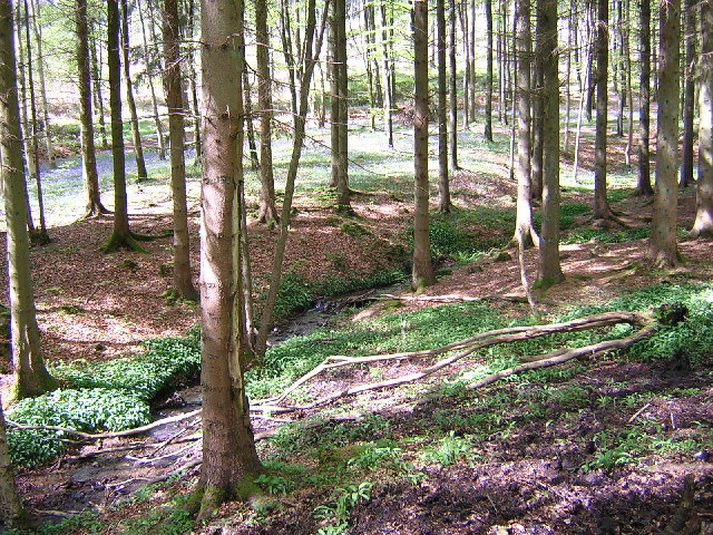 Mabie Forest with Bluebells - geograph.org.uk - 58893