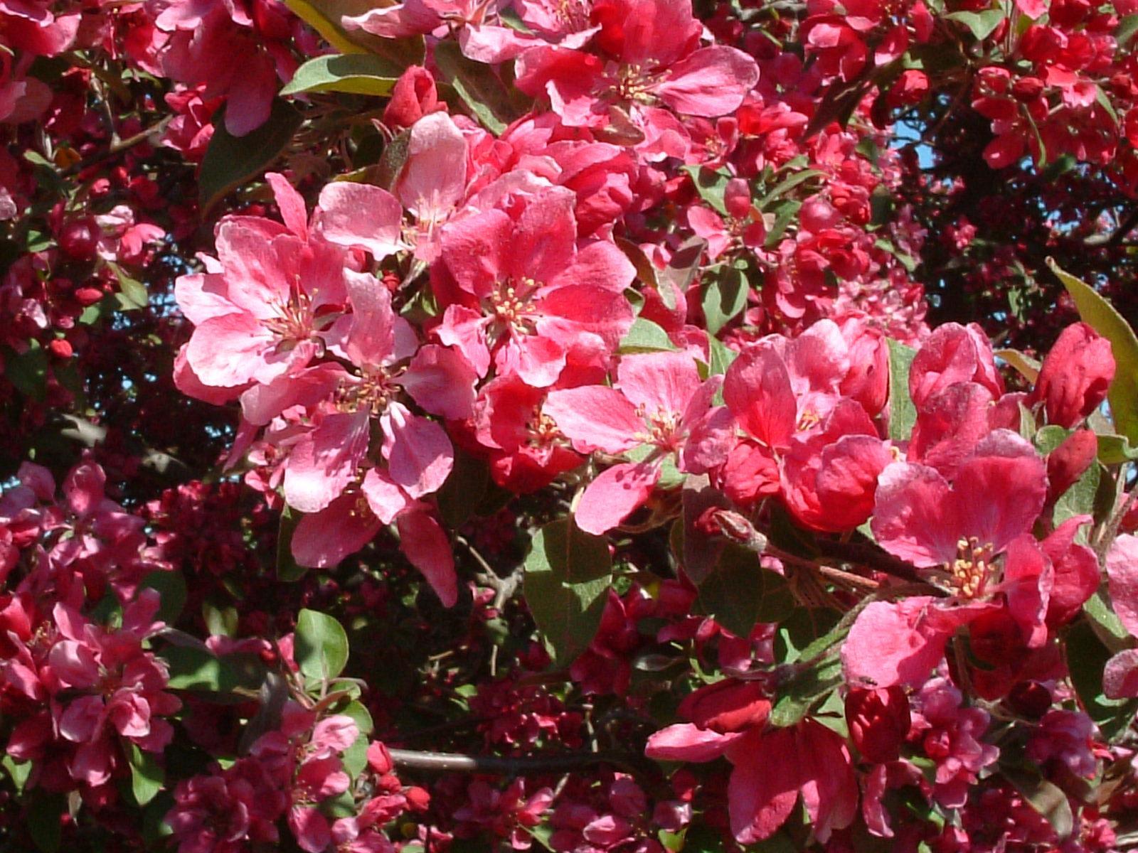 floribunda crabapple - photo #29