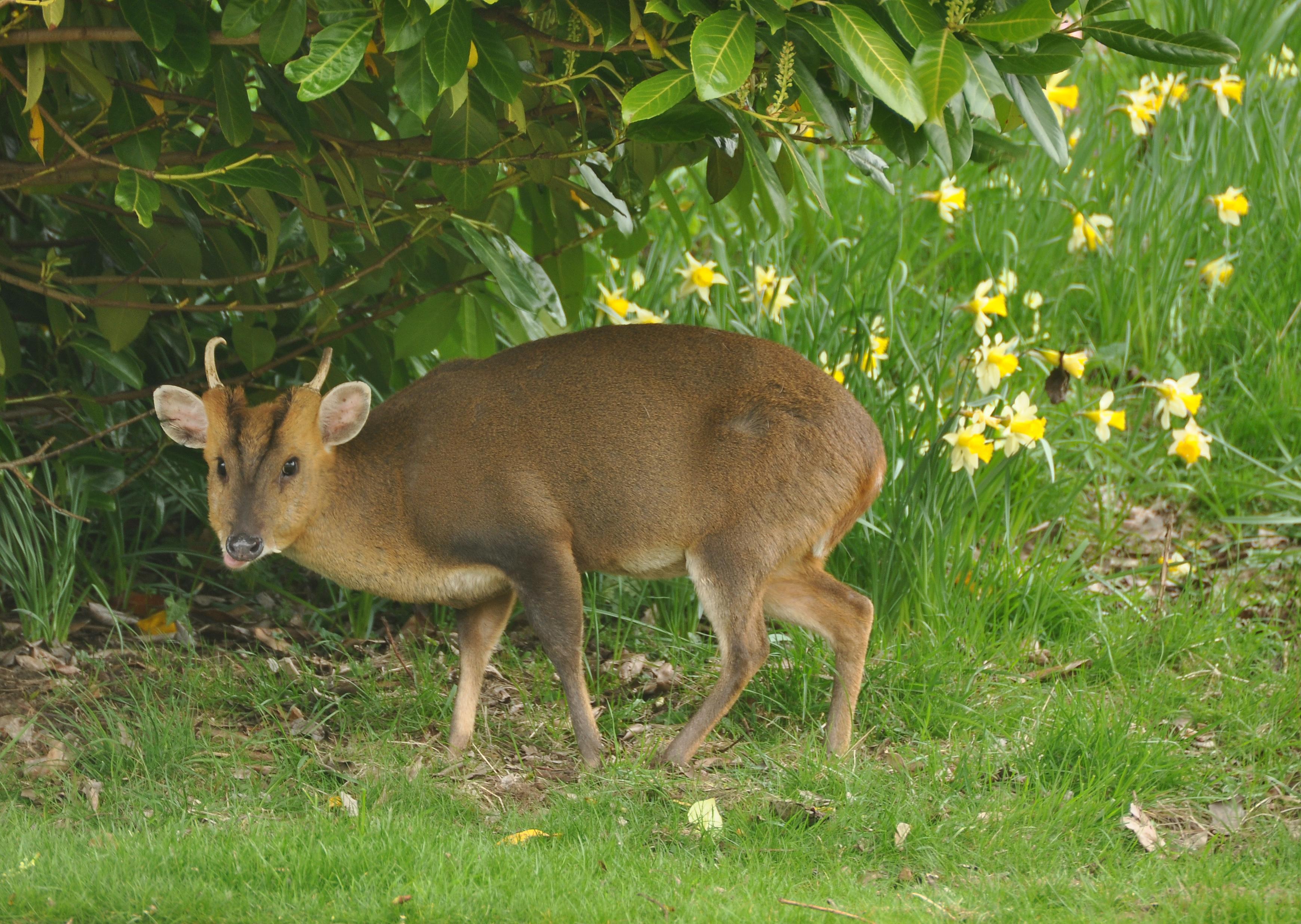 file muntjac deer at dumbleton wikimedia commons. Black Bedroom Furniture Sets. Home Design Ideas