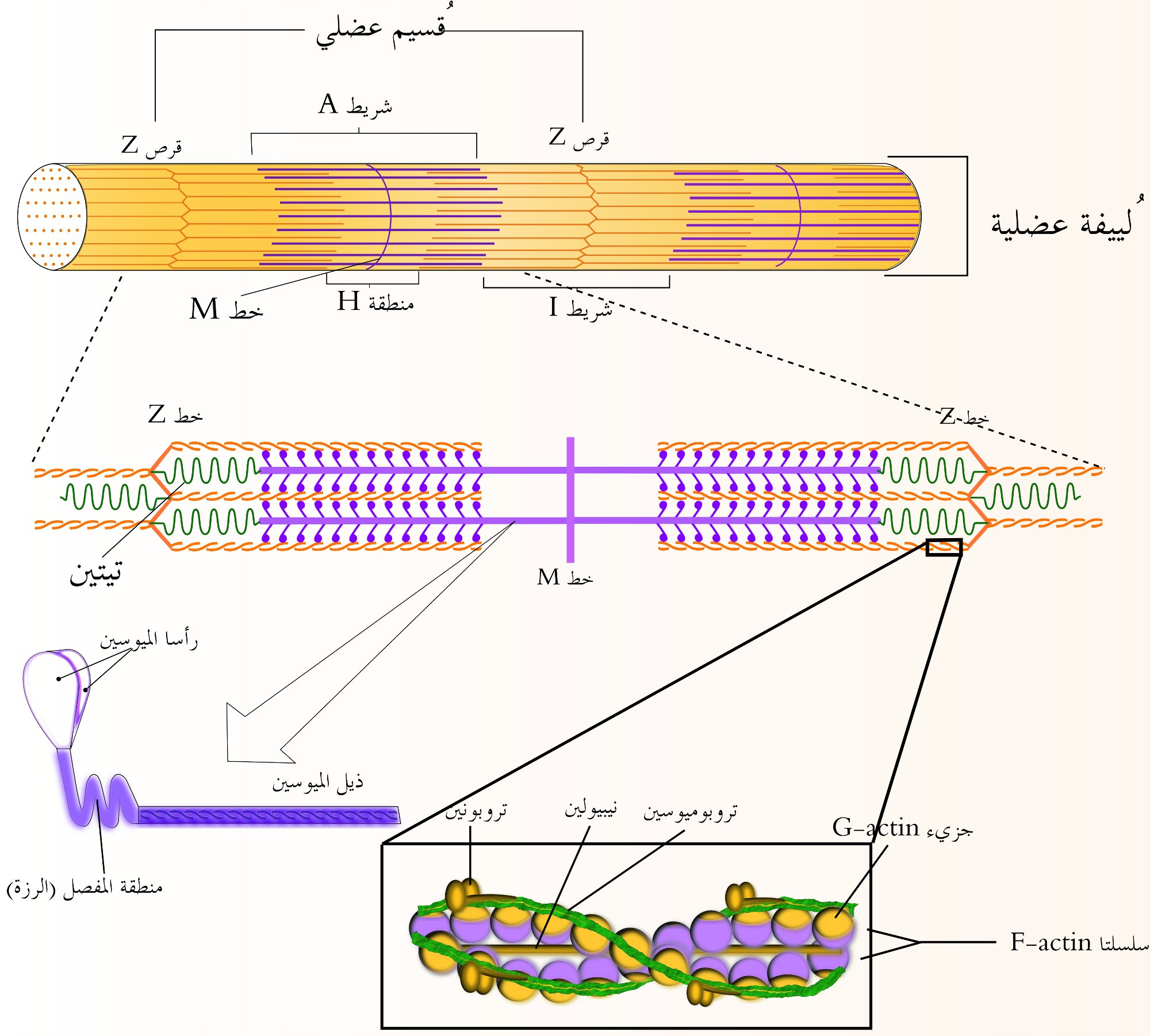 file:muscle fiber-extra structure - wikimedia commons