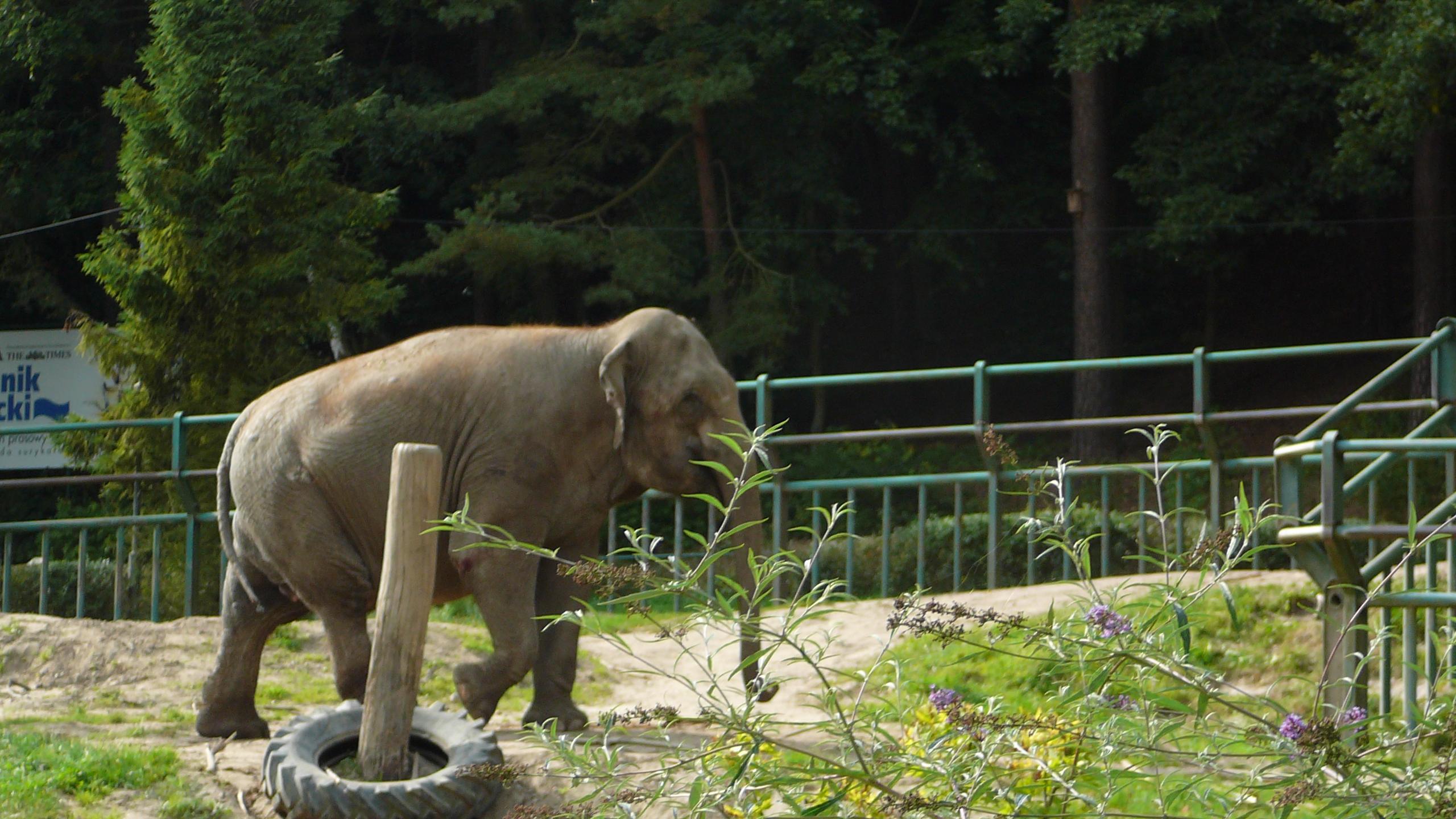 File Oliwa Zoo Slon Jpg Wikimedia Commons