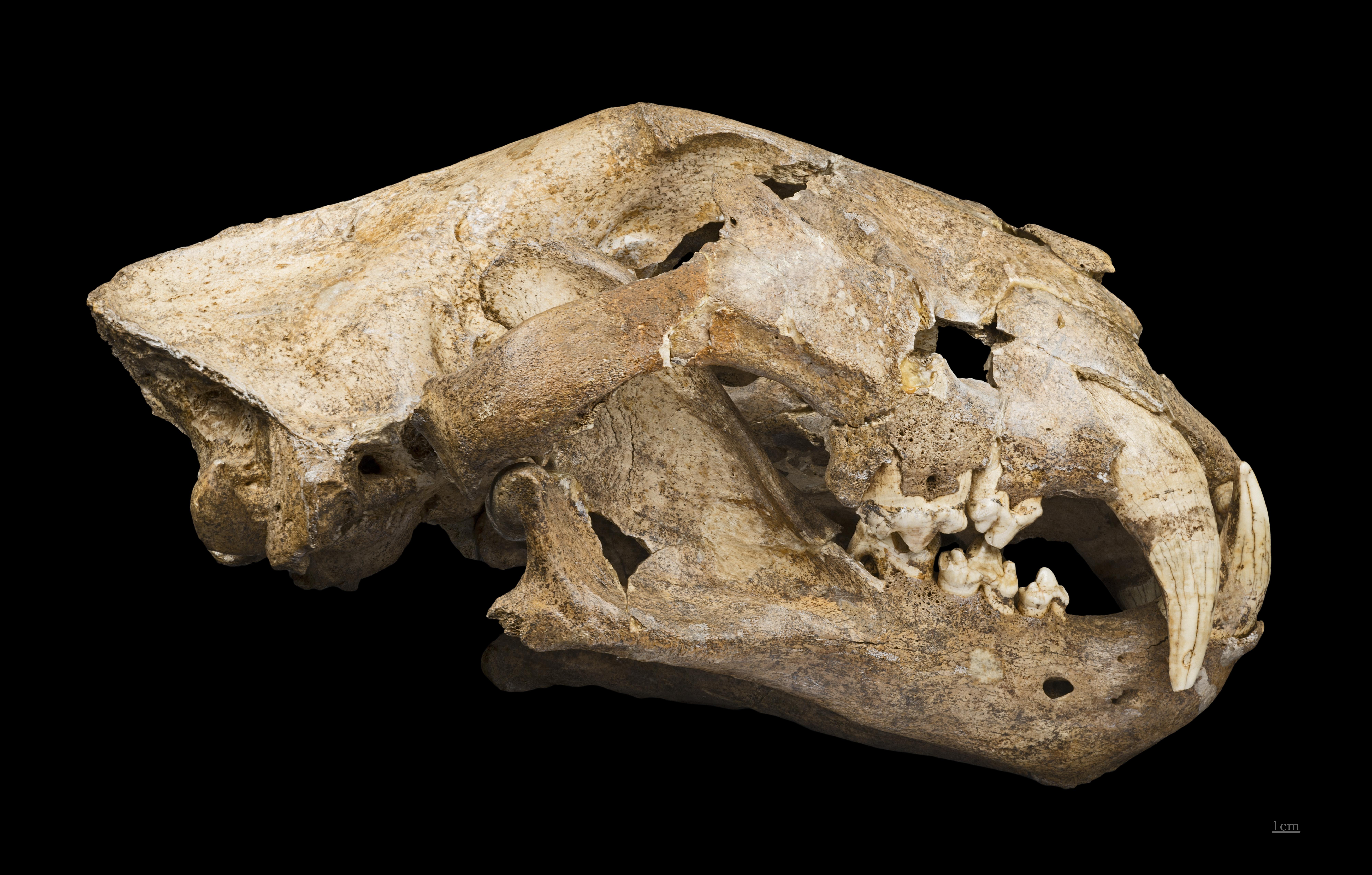 Crâne de Panthera spelaea exposé au Muséum de Toulouse