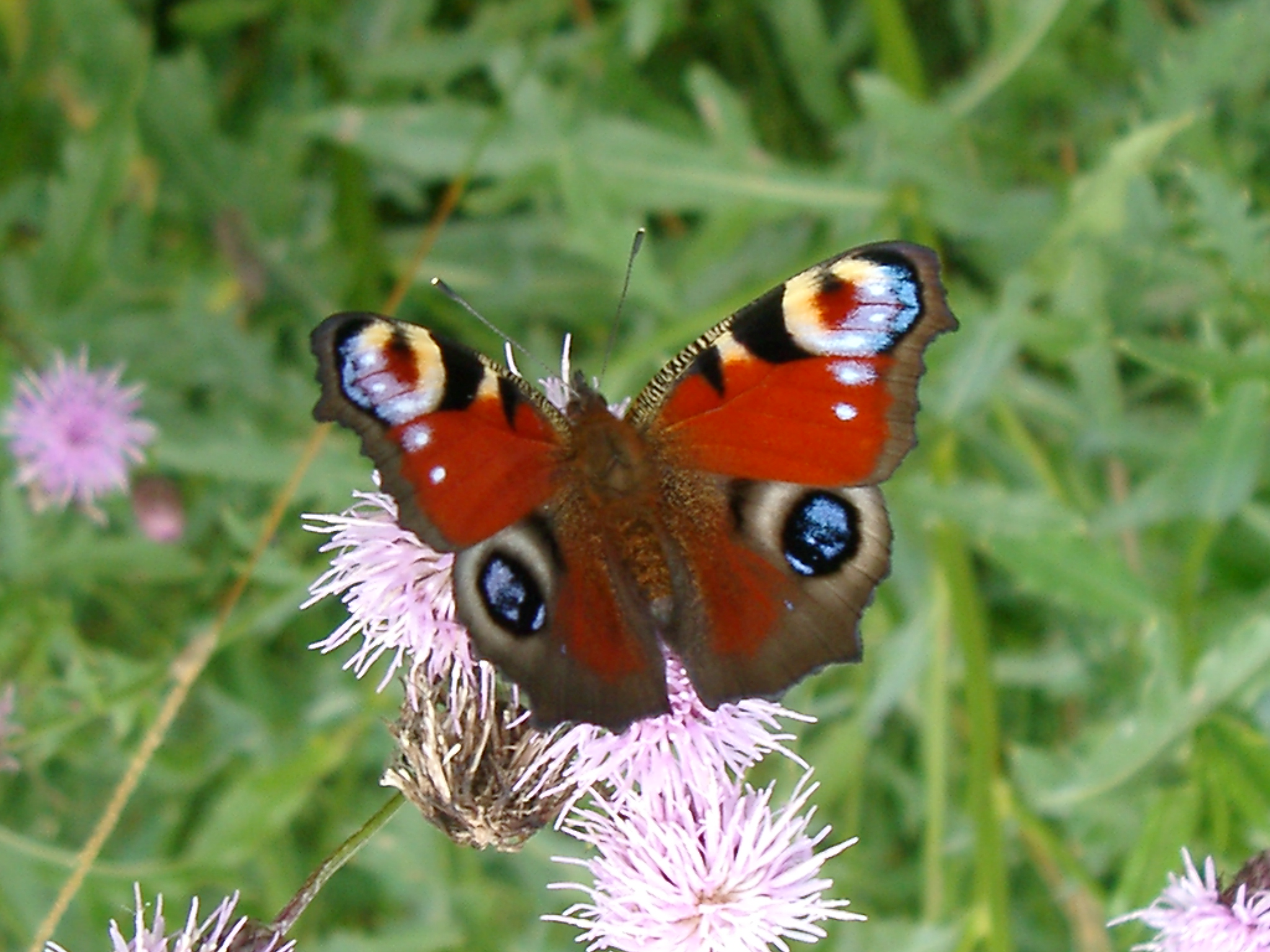 Peacock Butterfly Wallpapers