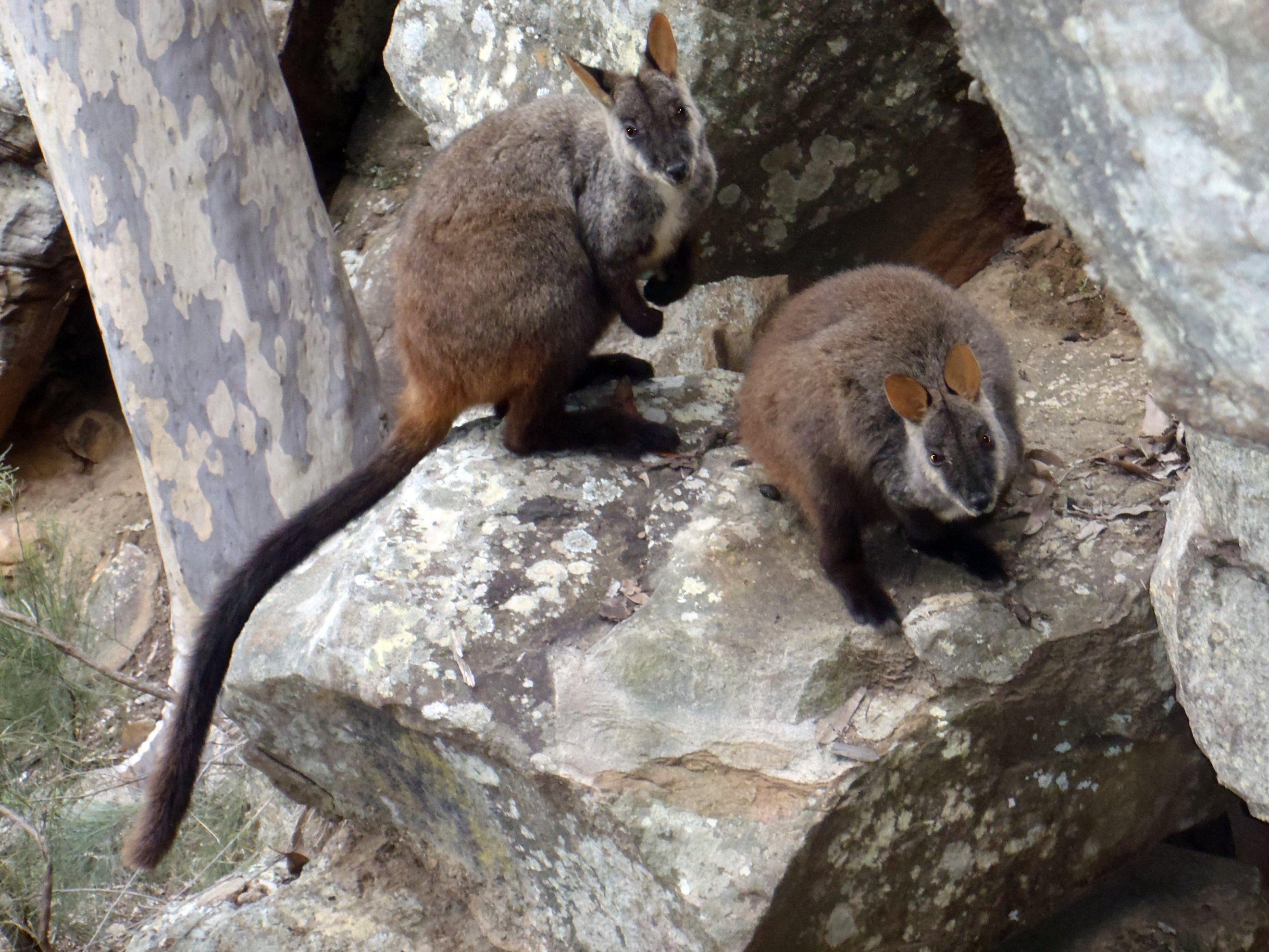 Brush Tailed Rock Wallaby Wikipedia
