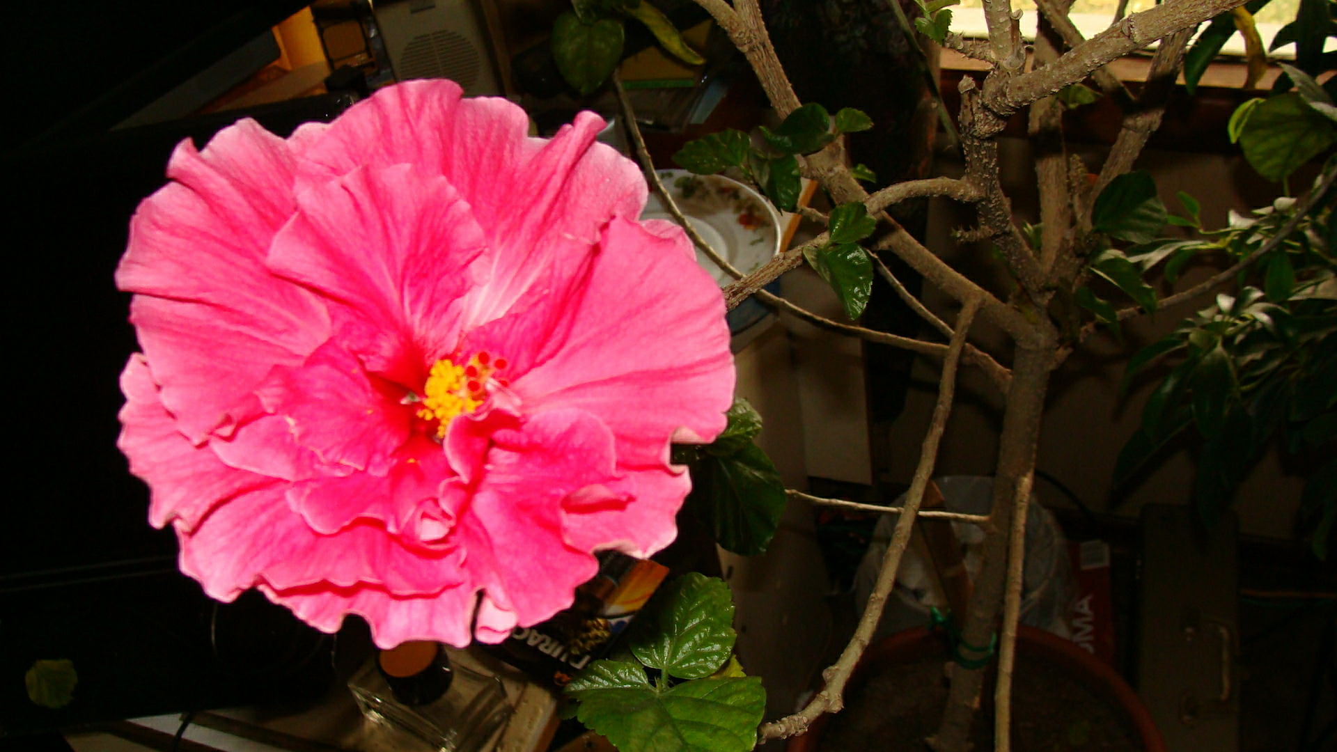 Filepink Hibiscus Flower 3 3957901135g Wikimedia Commons
