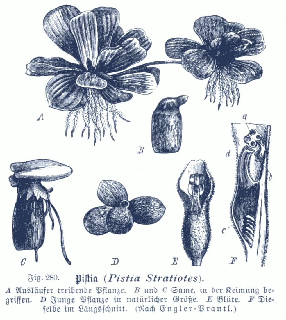 Depiction of Pistia stratiotes