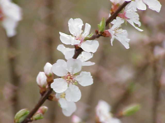 Prunus Tomentosa Wikispecies