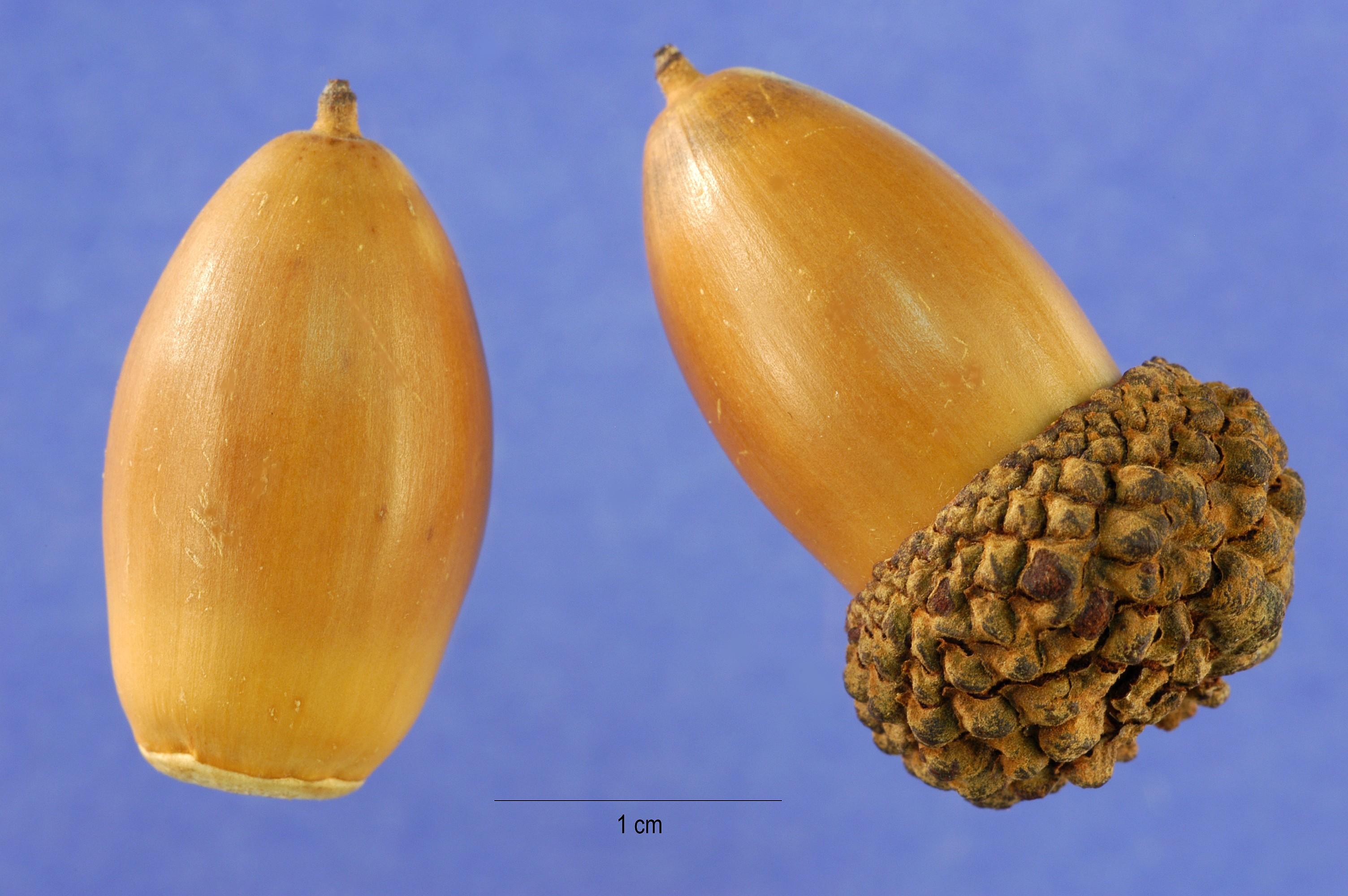filequercus alba acornjpg wikimedia commons