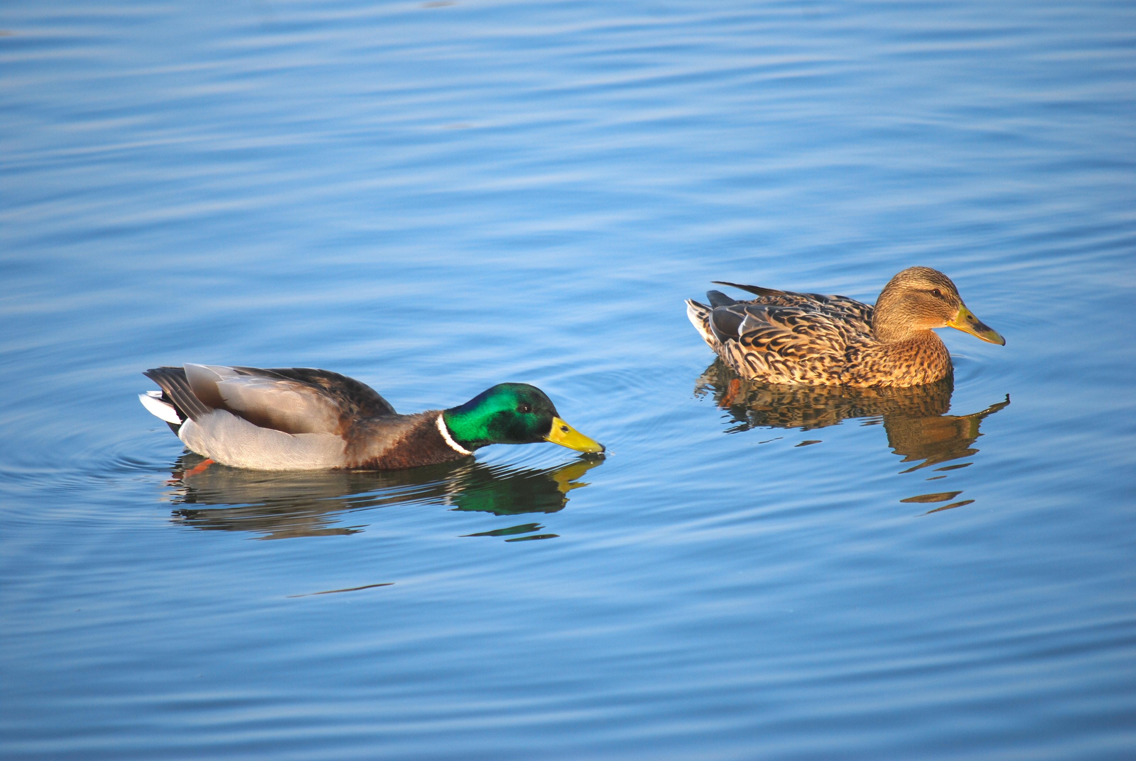 FileRO B Male And Female Duck In Titan Park 1
