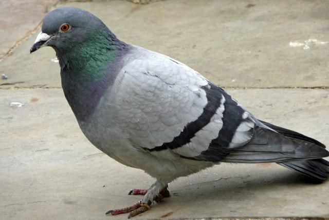Rock Pigeons Natural History