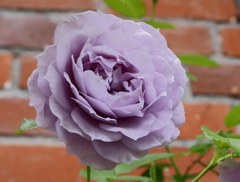 rosen kordes katalog novalis (rose) – wikipedia