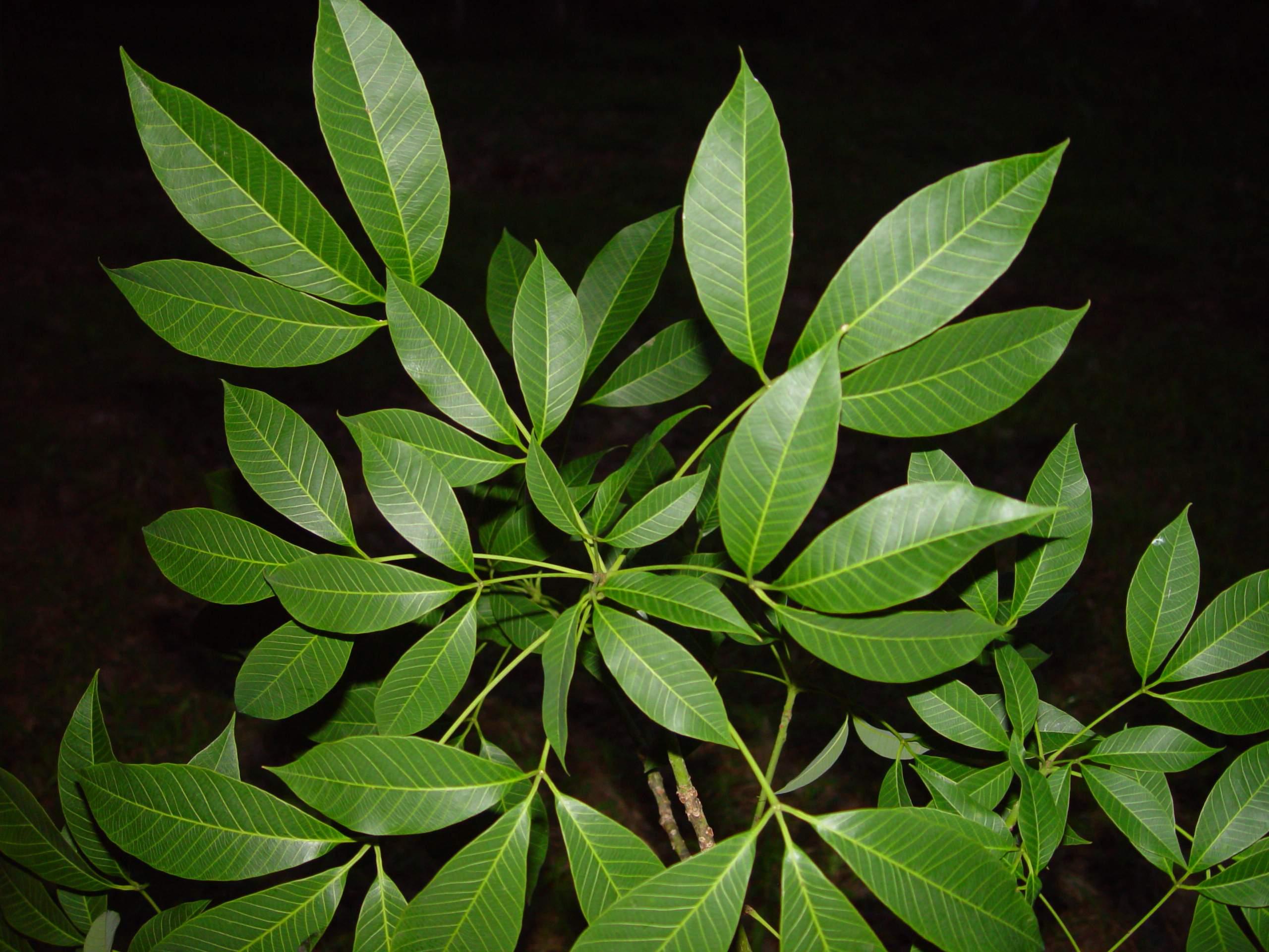 file rubber tree leaves jpg wikimedia commons