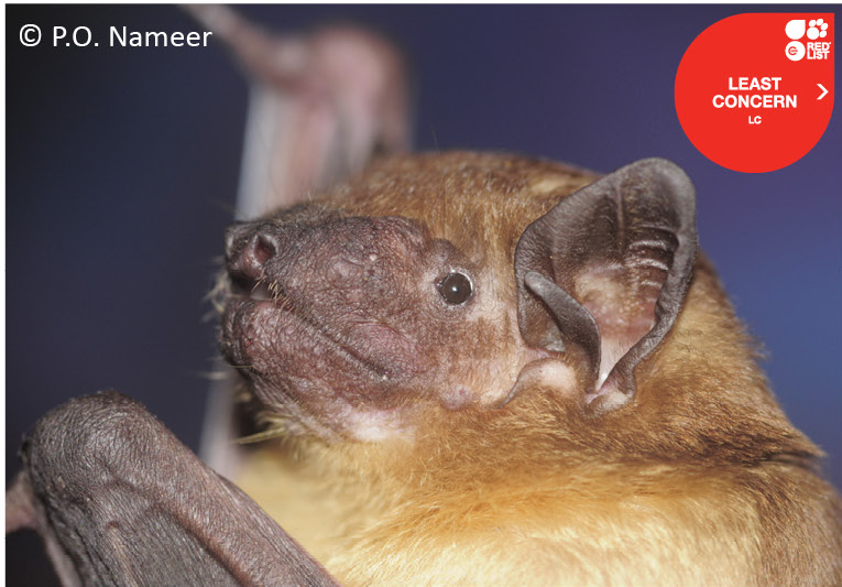The average litter size of a Greater Asiatic yellow bat is 1