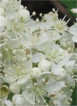 Sorbus aucuparia Wilde lijsterbes bloemen closeup