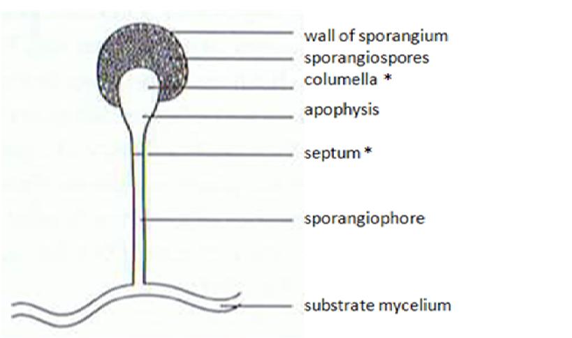 Image Gallery sporangia diagram