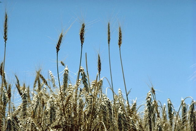 Archivo:Standing wheat in Kansas.jpg