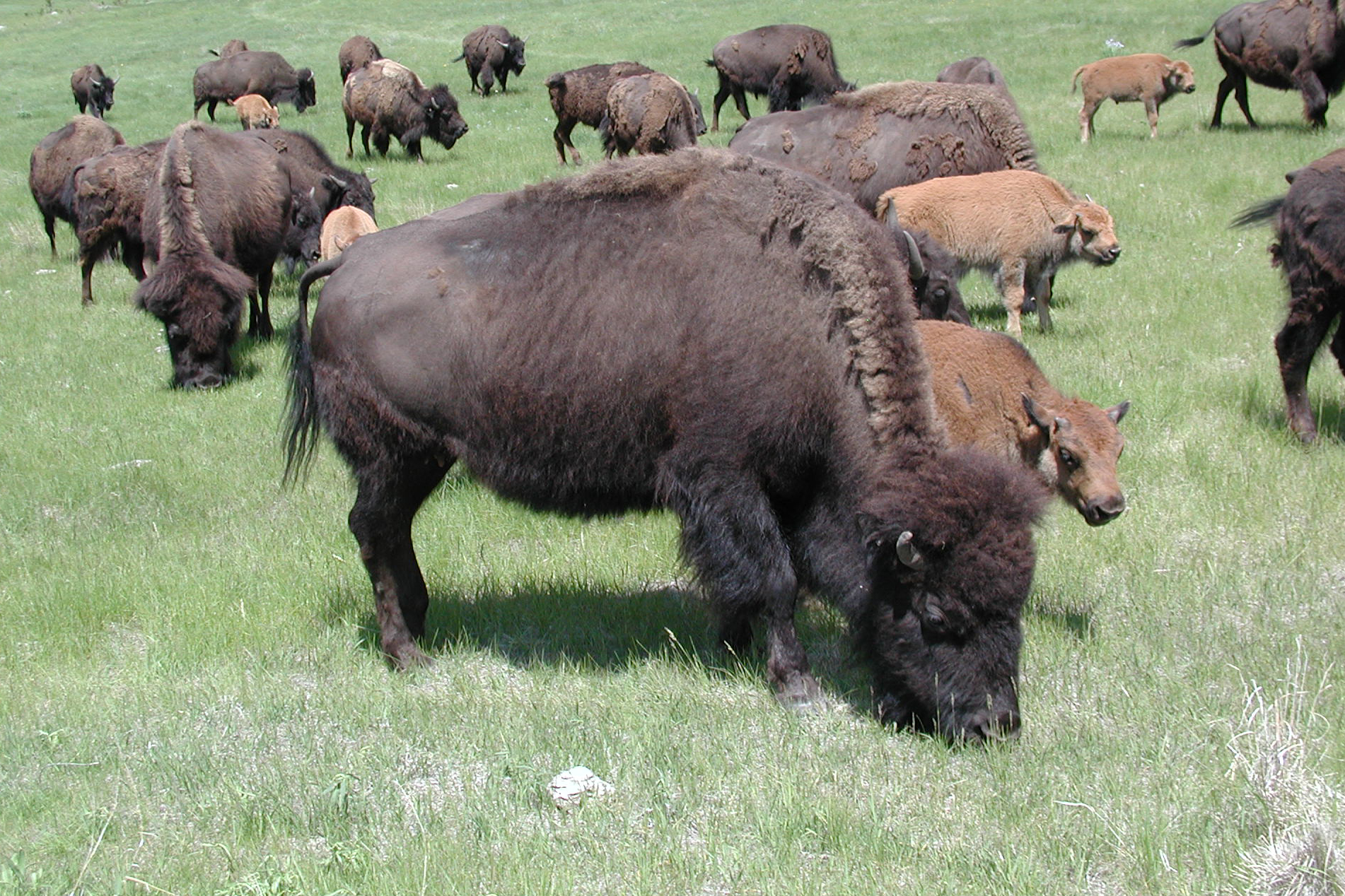 http://upload.wikimedia.org/wikipedia/commons/9/90/Tatanka.jpg