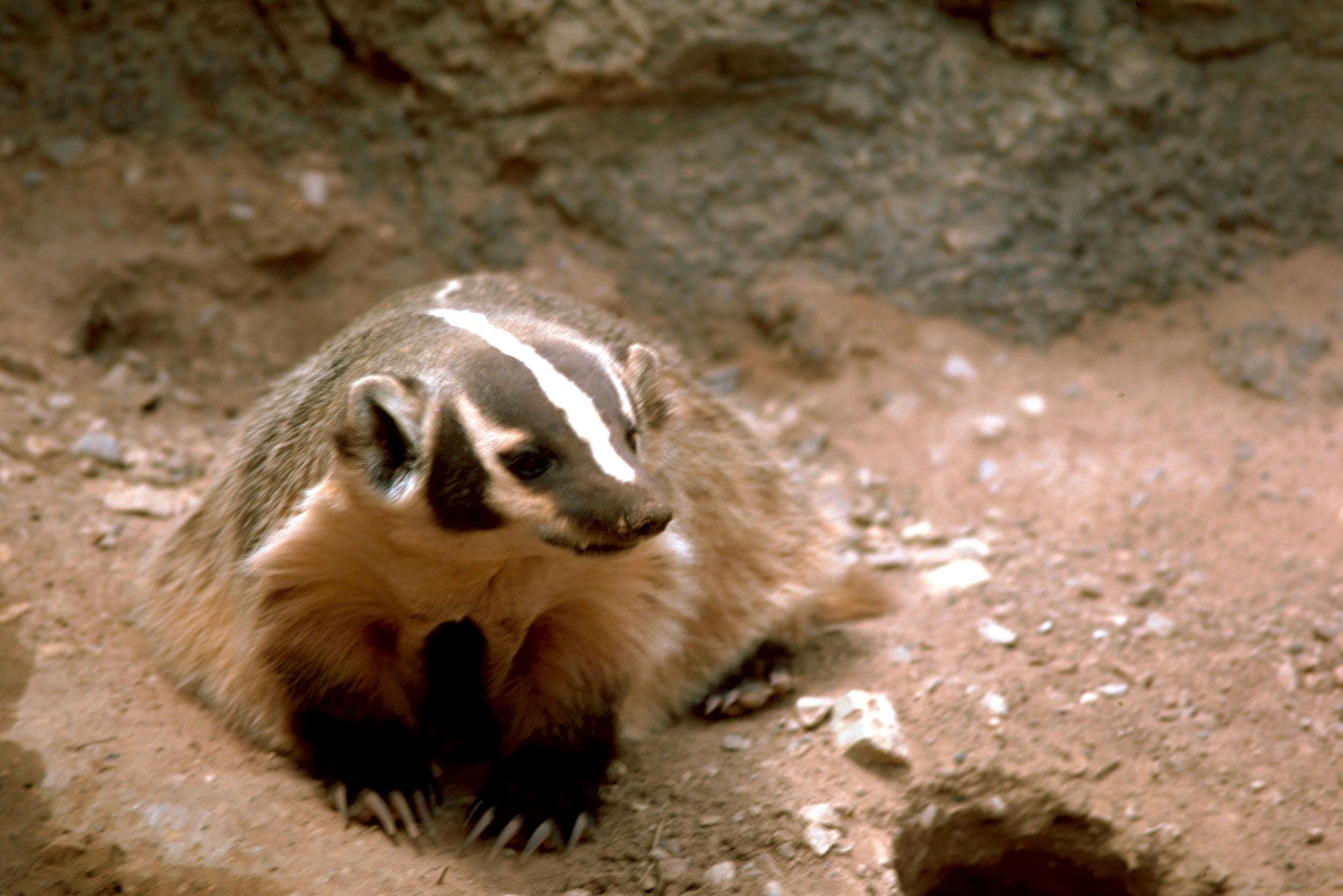 Paris American Badger