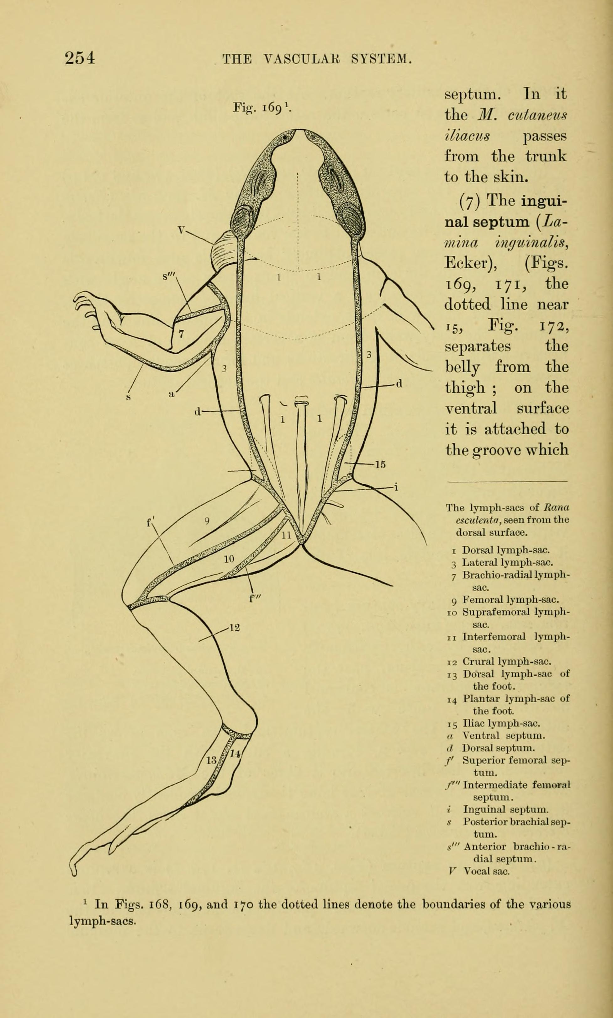 File:The anatomy of the frog (Page 254, Fig. 169) BHL7554880.jpg ...