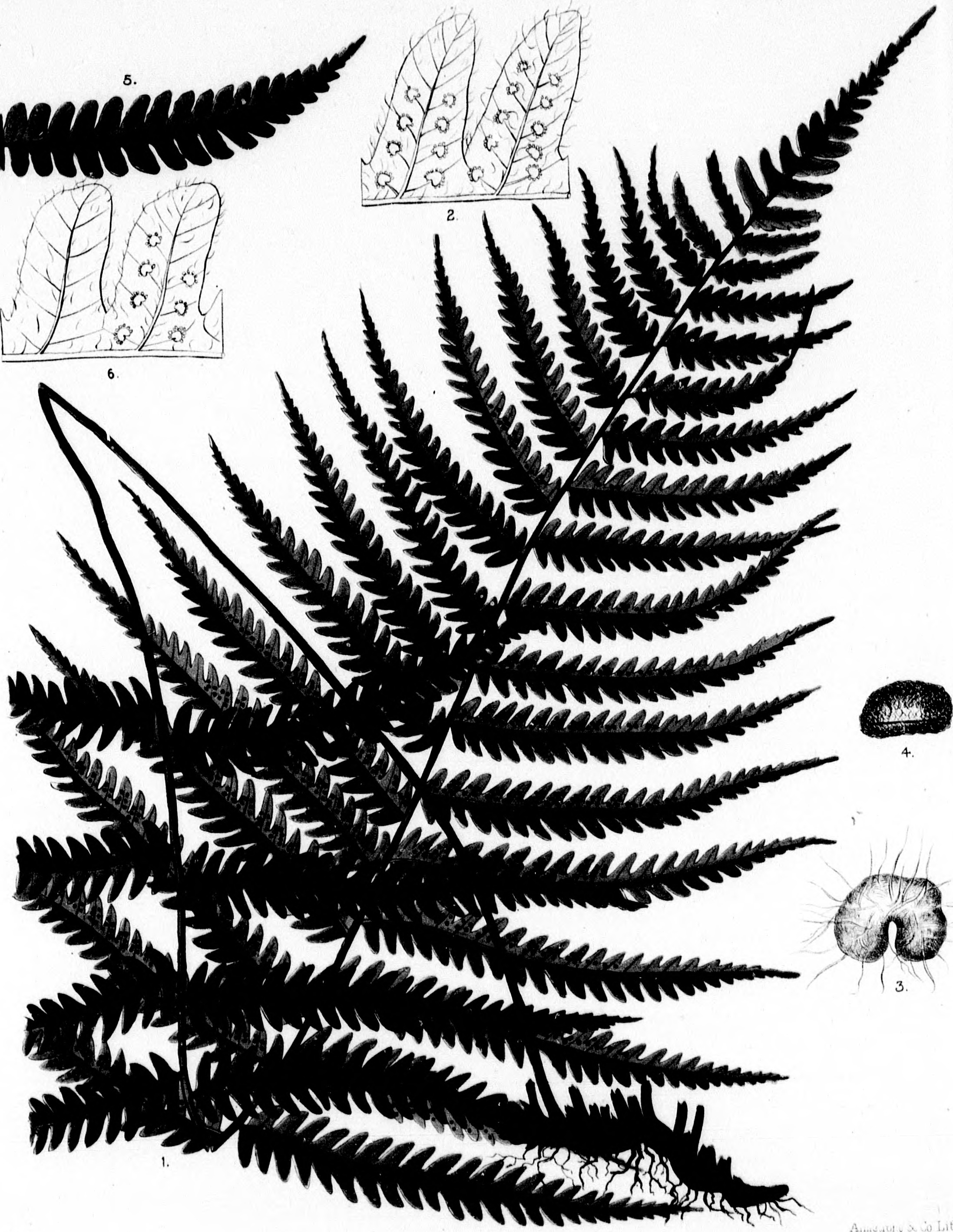 file the ferns of north america microform colored figures and Map of North America Showing States file the ferns of north america microform colored figures and descriptions