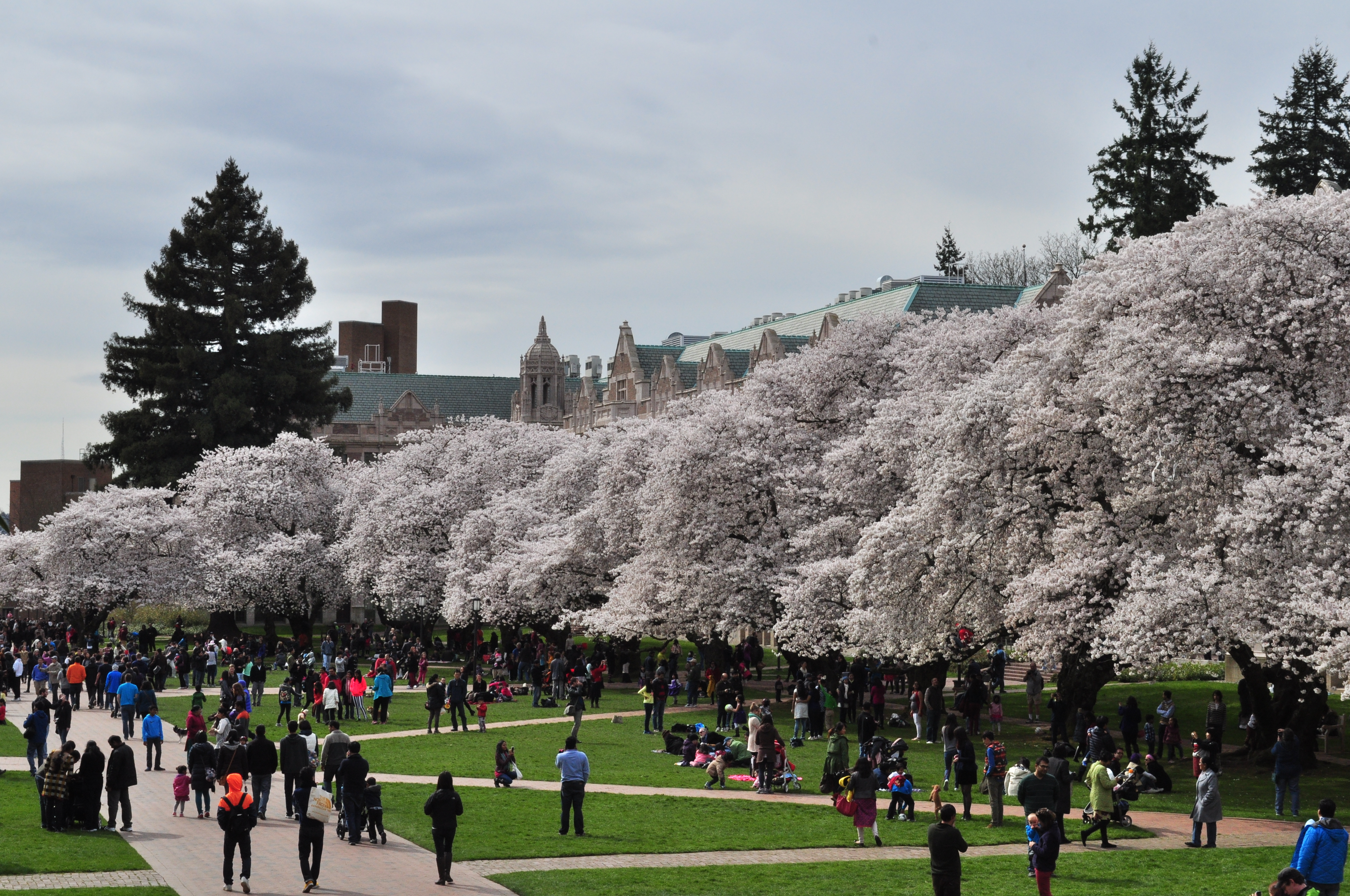of Washington Quad cherry blossoms 2014 - 21 (13347650423).jpg