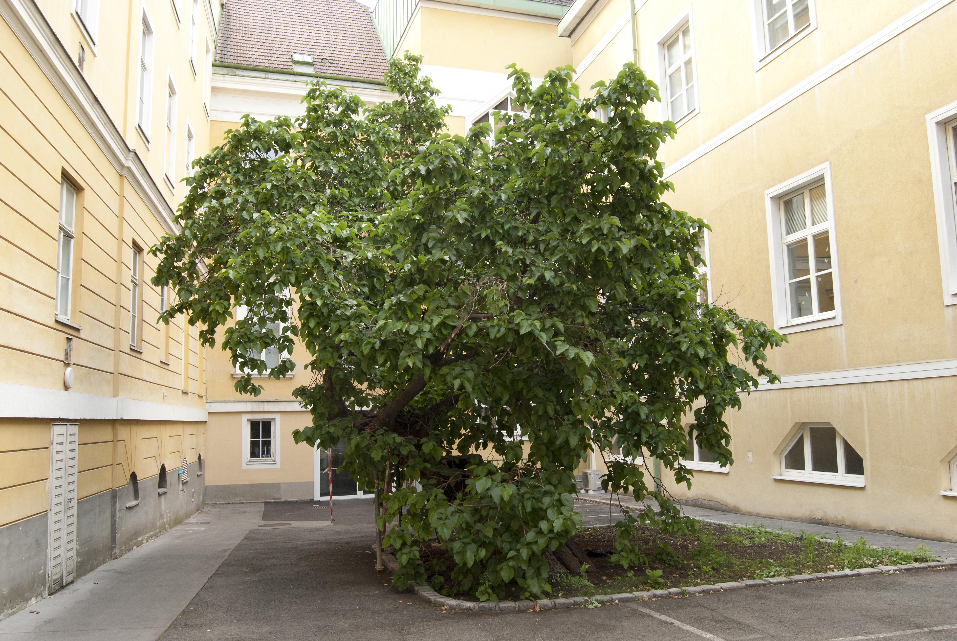 Weißer Maulbeerbaum Landstrasse.jpg