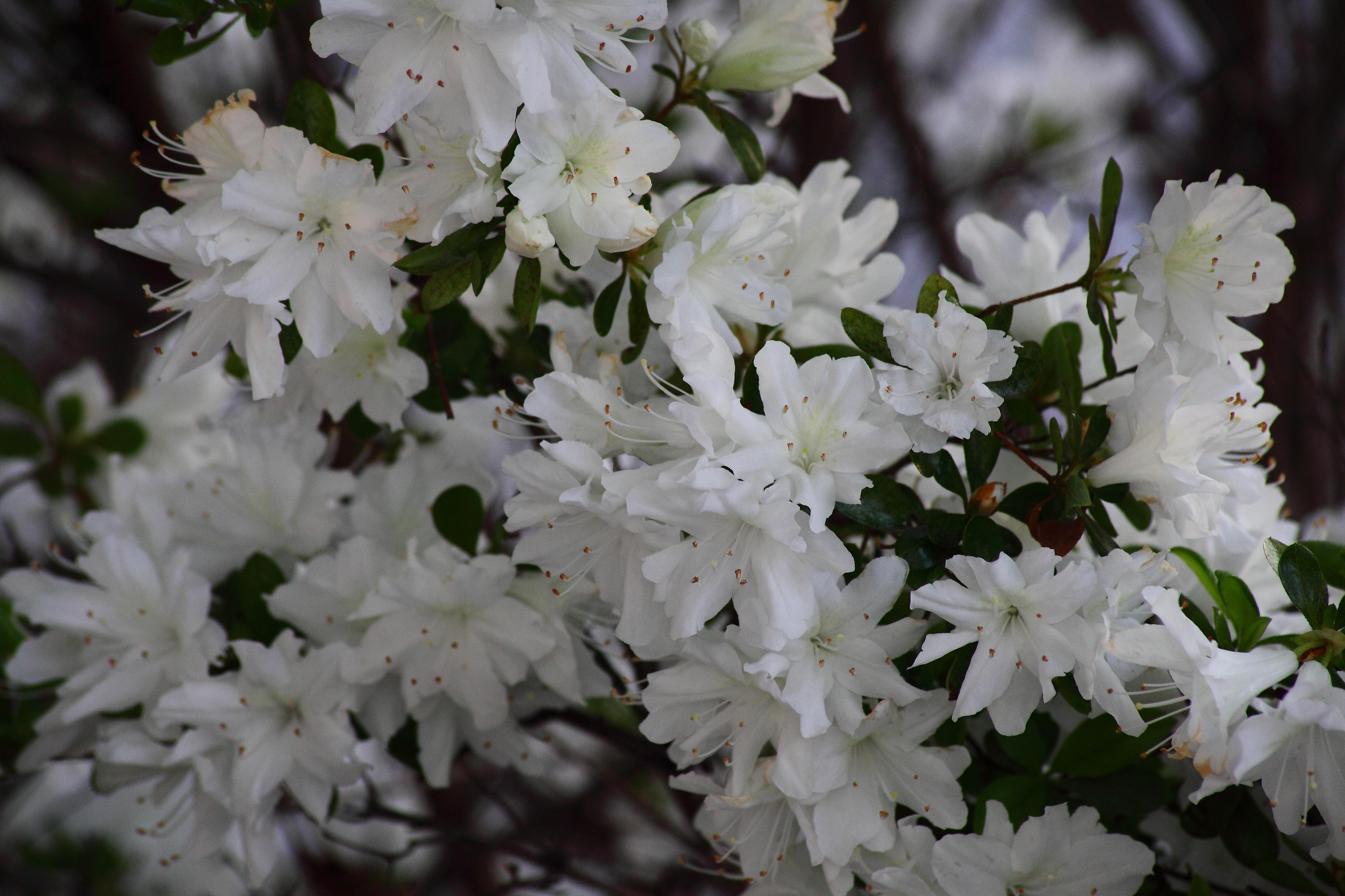 Filewhite flowers azalea bloom spring west virginia filewhite flowers azalea bloom spring west virginia forestwander mightylinksfo