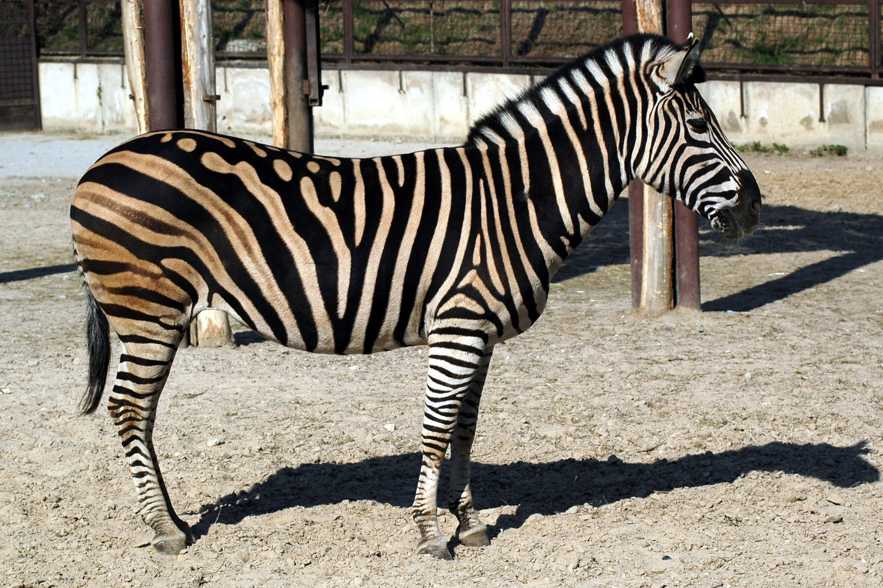 Zebra 2.5