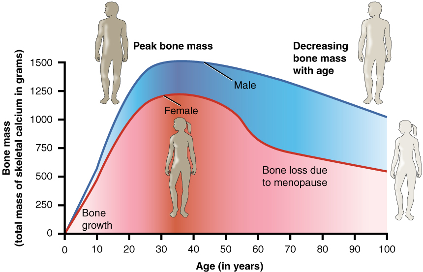 Image result for bone density graph