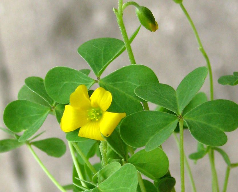 Common Yellow Garden Flowers oxalis stricta - wikipedia
