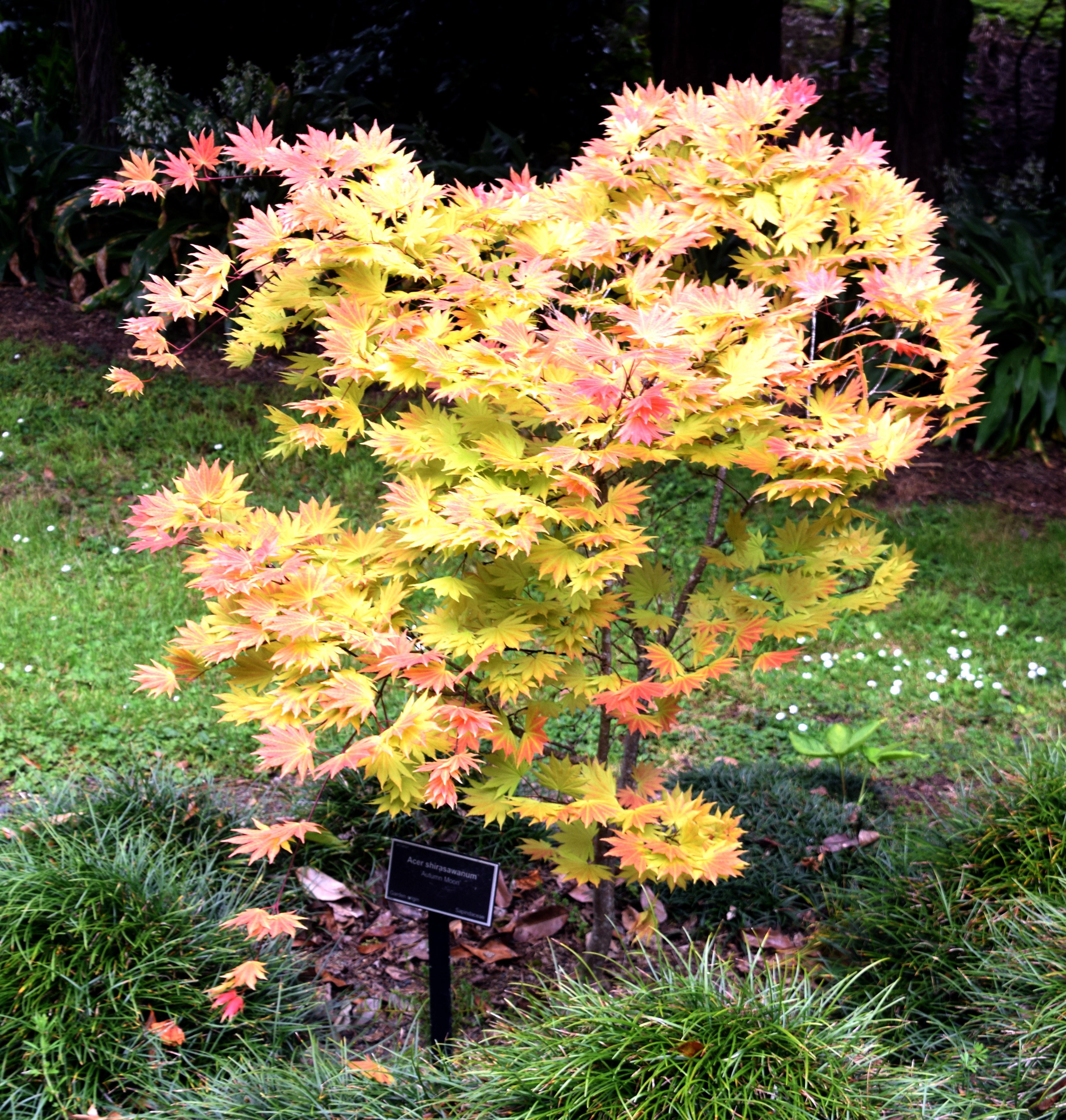 Acer Shirasawanum Autumn Moon Garden Design Ideas