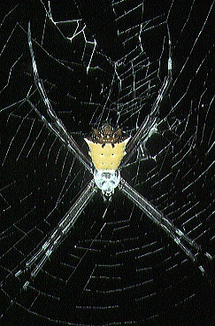 Description de l'image Argiope.savignyi.yellow.-.tanikawa.jpg.