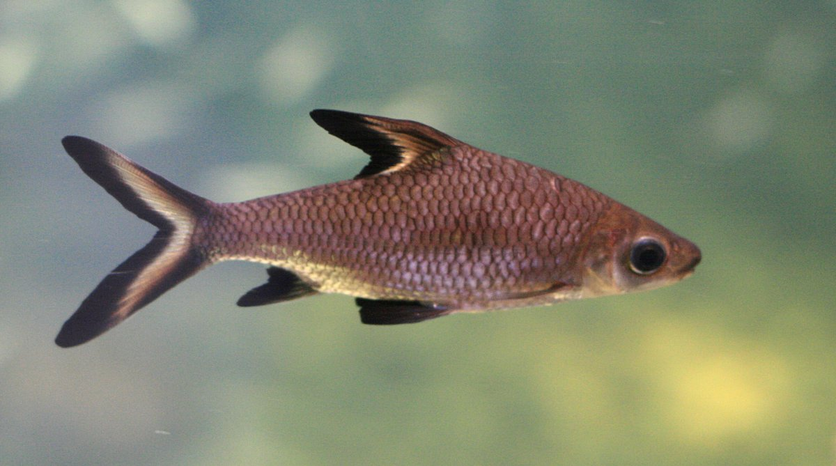 Freshwater aquarium fish list species - Freshwater Aquarium Fish List Species