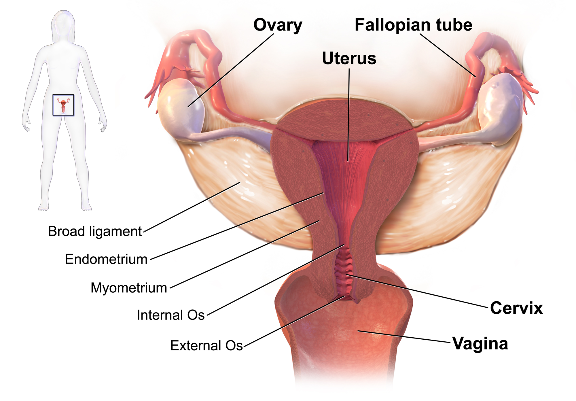 What they say about the GHA fallopian tubes