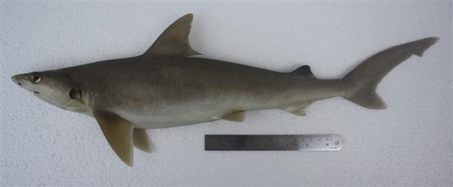 Carcharhinus dussumieri terengganu