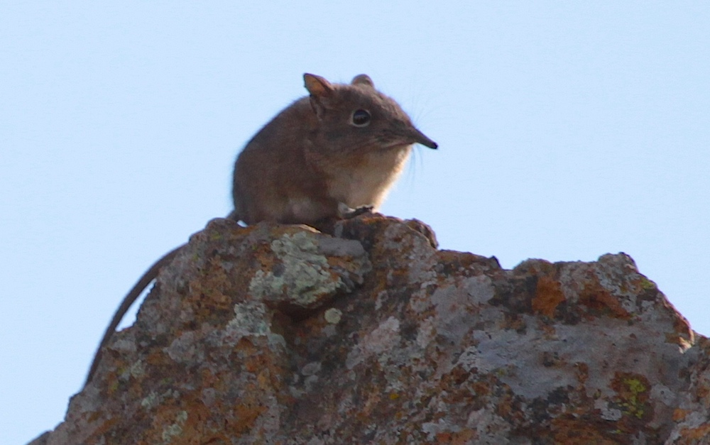The average litter size of a Eastern rock elephant shrew is 1