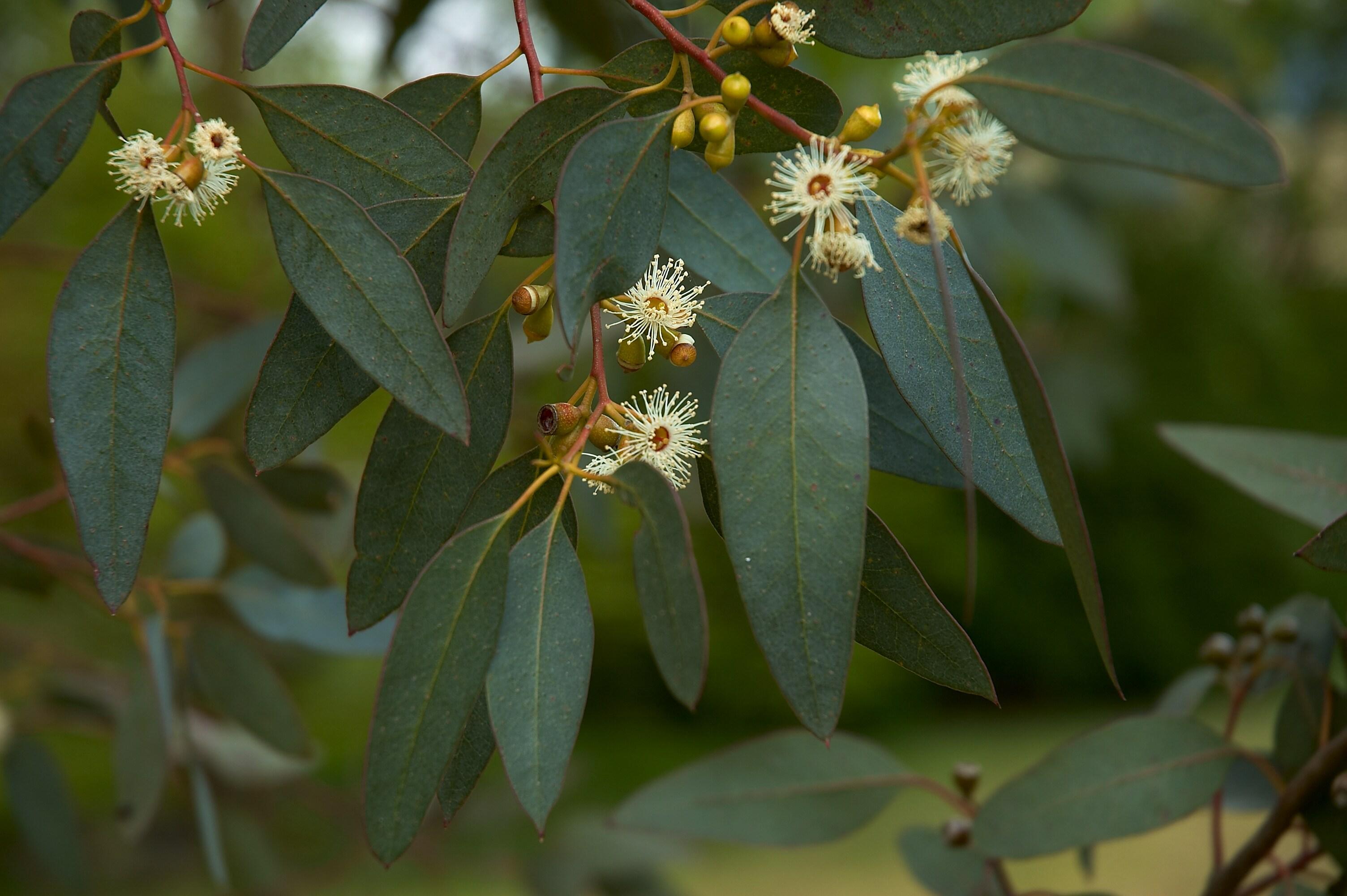 anexo especies de eucalyptus