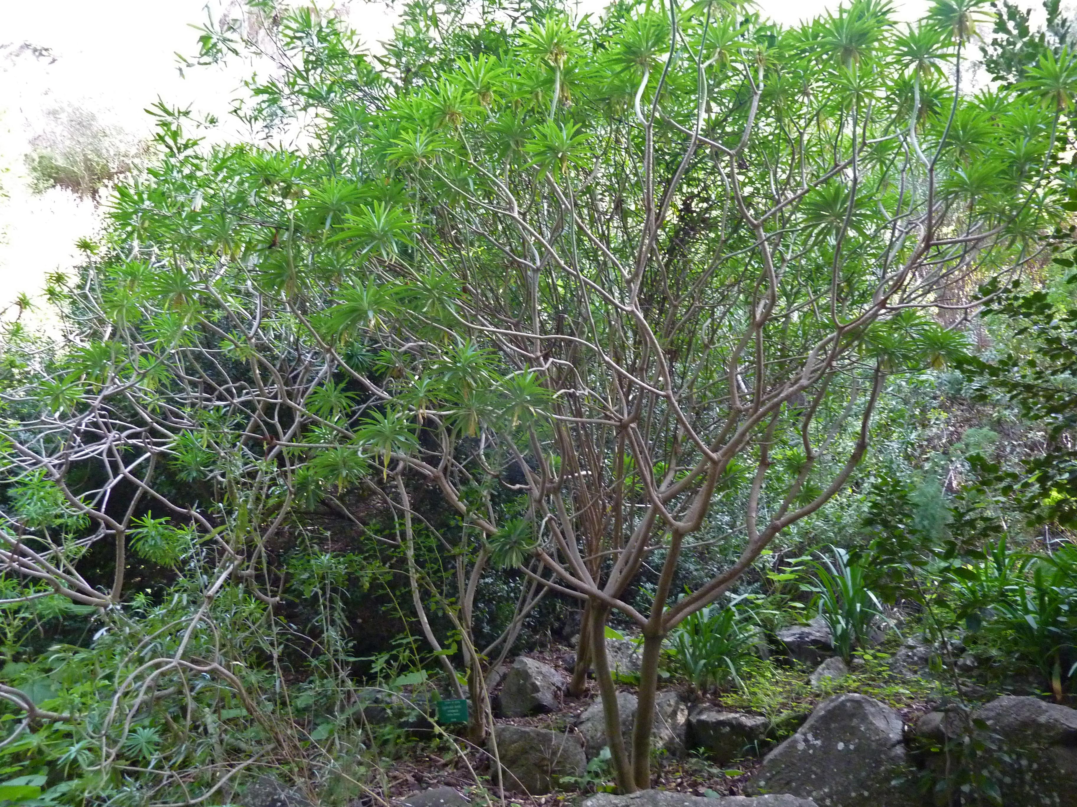 File euphorbia lambii jard n bot nico canario viera y clavijo jpg wikimedia commons - Jardin botanico canario ...