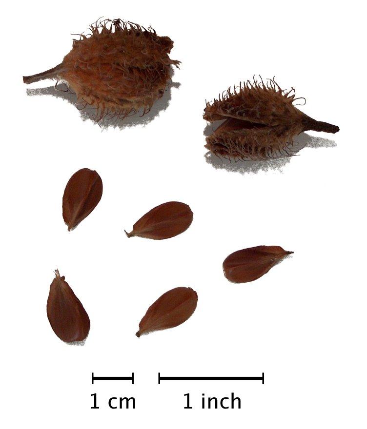 Fagus sylvatica EUROPEAN BEECH TREE Seeds!